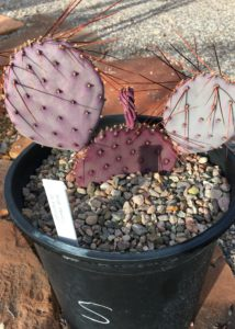 Prickly-Pear-Purple-Pads-Long-Spines-Grand-Canyon